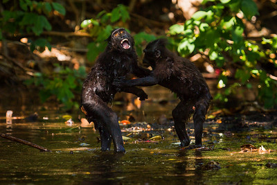 Celebes crested macaque / black macaque (Macaca nigra), Tangkoko, Sulawesi, Indonesia. Two juveniles play together in a river.