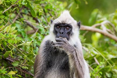 Grey Langur, Hanuman Langur, (Semnopithecus entellus), Yalla National Park, Sri Lanka