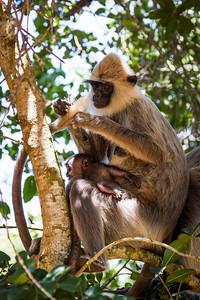 Grey Langur / Hanuman Langur, (Semnopithecus entellus) grooming tail, holding baby, Yalla National Park, Sri Lanka