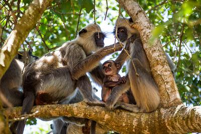 Grey Langur / Hanuman Langur, (Semnopithecus entellus) male grooming female, with baby, Yalla National Park, Sri Lanka