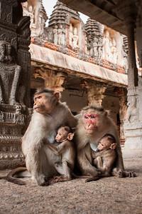 Temple Bonnet Macaques, Hampi