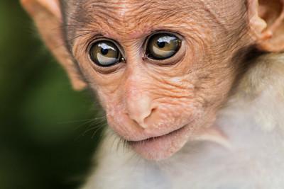 Valparai Bonnet Macaque-2.jpg