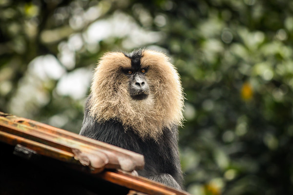 Lion-Tailed Macaque-9.jpg