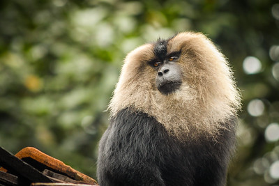 Lion-tailed macaque (Macaca silenus) sitting on a house roof in a village in the Malnad region of Shimoga district, South India.