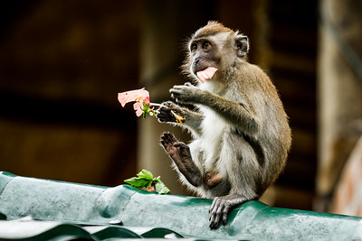 Crab-eating macaque, Indonesia., long-tailed macaque (Macaca fascicularis). Eating a flower. Bukit Luwang, Northern Sumatra.