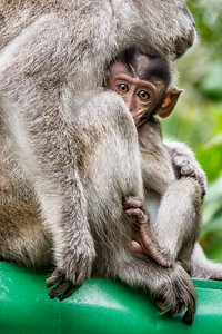 Crab-eating macaque, long-tailed macaque with young. (Macaca fascicularis). Bako National Park, Borneo.