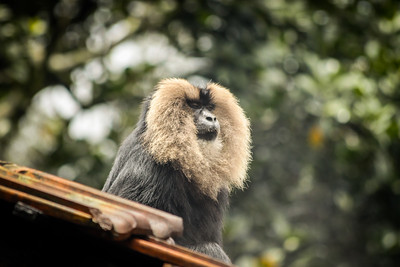 Lion Tailed Macaque-10.jpg