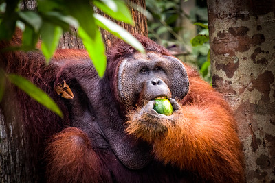 Orangutan feasting on fruit