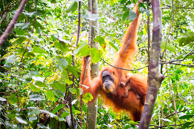 Gunung Leuser National Park is a protected forest and prime habitat for the critically endangered Sumatran orangutan. This orangutan mother was rescued from the illegal pet trade and eventually released into the park to join many others who have also been rescued elsewhere on the island. The rescue process can be traumatic for these great apes, but her two week old baby girl, was born in the safety of the park. Hopefully she will never experience the fear and loss that her mother went through. #Orangutan #Sumatra #Wildlife #Conservation #Rescue #Baby #Primate #Travel #BBC #EarthOnLocation #WondersofTheMonsoon