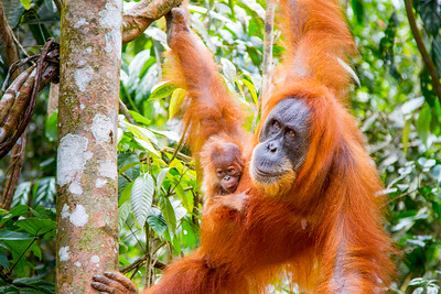 Wild orangutan & 1 week old baby - she's the wonderful mum we're following in the Sumatran jungle.