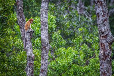 Young Proboscis monkey (Nasalis larvatus) feeding, Kinabatangan River, Sabah, Borneo.