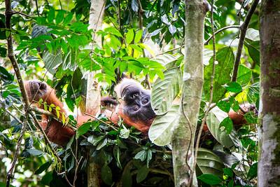 Sumatran Orangutan (Pongo abelii) rests in her nest. Gunung Leuser National Park, Sumatra, Indonesia