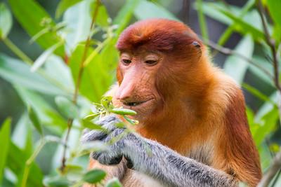 Female Proboscis monkey (Nasalis larvatus) feeding, Kinabatangan River, Sabah, Borneo.