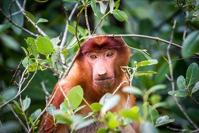 Female Proboscis monkey (Nasalis larvatus) feeding, Kinabatangan River, Sabah, Borneo. Photoshop to remove small branch over the monkeys chin.