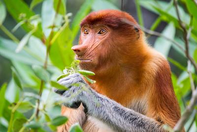 Proboscis Monkey feeding