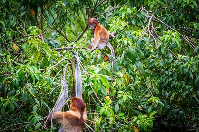 Female Proboscis monkey (Nasalis larvatus) and young climbing, Kinabatangan River, Sabah, Borneo.