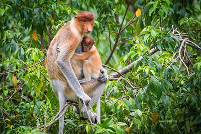 Female Proboscis monkey (Nasalis larvatus) holding young, Kinabatangan River, Sabah, Borneo.