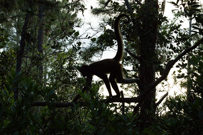 Spider Monkeys, Belize