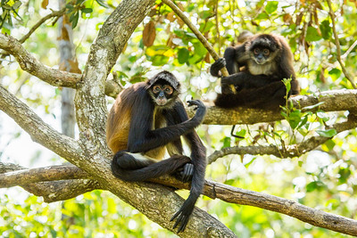 In Belize - Spider Monkeys. Gotta lov em' #EarthOnLocation #BBCEarth #Monkey #Belize