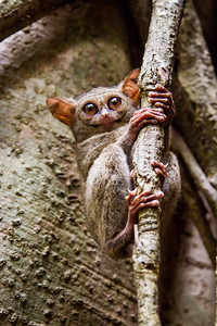 I was filming for #BBCEarth in Sulawesi... The local guides in Tangkoko nature reserve took me to a tree that is locally famed as the home of a family of Tarsiers. We arrived before dawn and waited - sure enough, not long after it started to get light the tiny primates returned from a night of hunting. This tarsier stopped right in front of me and appeared to give a wide grin before dissapearing into the tree. #Tarsier #Tangkoko #Primate #Nocturnal #Tree #Small #Indonesia #BBC #EarthOnLocation