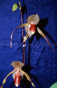 Paphiopedilum Susan Booth