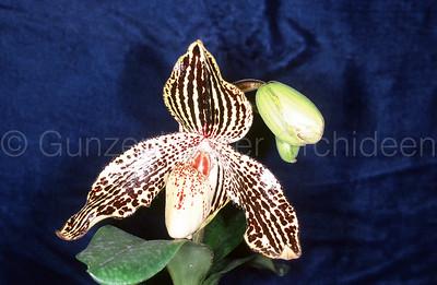 Paphiopedilum (rothschildianum x wenshanense)