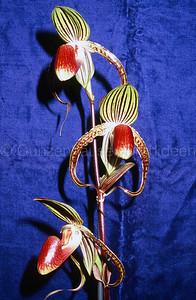 Paphiopedilum (rothschildianum x gigantifolium)