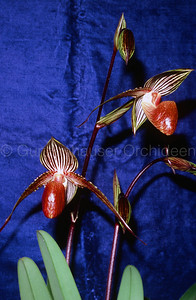 Paphiopedilum Lady Booth