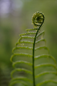 Fiddlehead Fractals