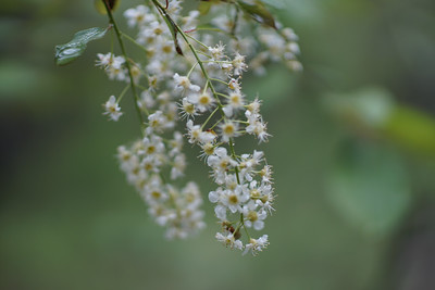 Cheery Chokecherry