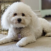 Prince Charming, the Bichon Frise  who can detect seizures before they happen. SENTINEL & ENTERPRISE / Ashley Green
