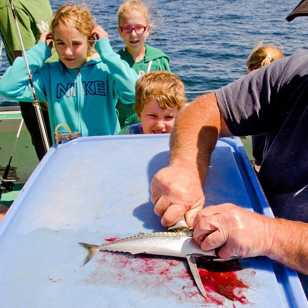 Cutting bait, Gulf of St Lawrence, PEI. 21 July, 2012.