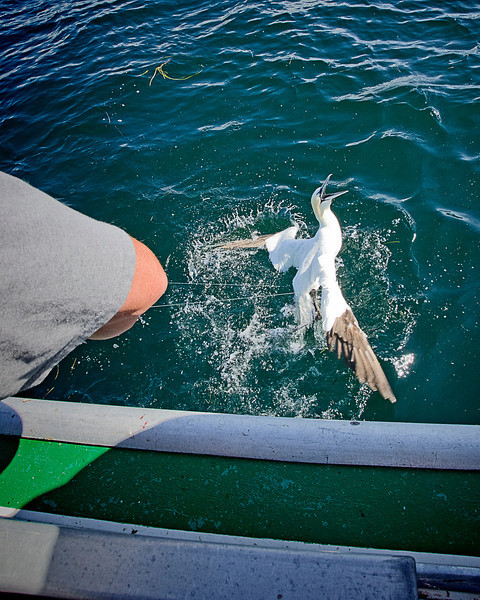 We caught a lot of fish but we also accidentally snagged a gannet. He was not that happy about it but we got him untangled and on his way in pretty short order. Gulf of St Lawrence, PEI. 21 July, 2012.