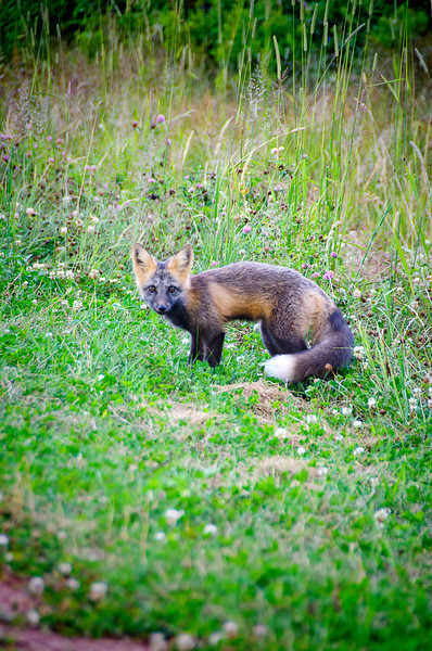 Silver Fox, Prince Edward Island National Park, 19 July, 2012.