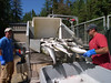 Harvesting hatchery eggs...the salmon then go to Ketchikan for further processing