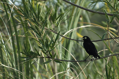 Spectacled tyarant