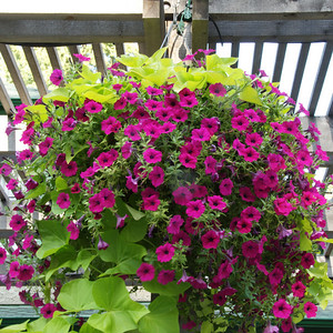 Hanging Basket at the entrance