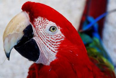 Blue-green macaw