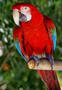 Blue-green Macaw