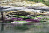 Beds of purple sea stars are in the inter tidal zone at the entrance to PLI.