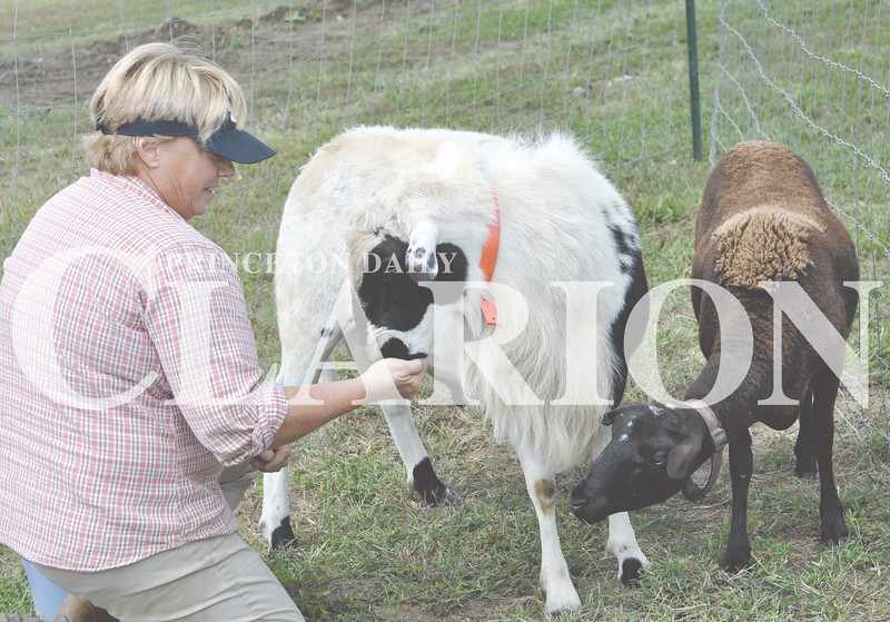 """Daily Clarion/Andrea Howe<br /> Lyles Station volunteer Jill Embree feeds a treat to """"Phil,"""" her pet sheep named after Phil Hofman, who helped her get started in raising sheep. Embree brought some of her farm animals to the New Beginnings Celebration for a petting zoo exhibit on the schoolgrounds."""