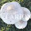 Daily Clarion/Andrea Howe <br /> Diameter of several of the mushrooms were about the size of a salad plate.