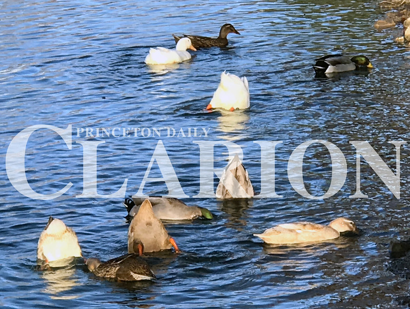 Daily Clarion/Andrea Howe<br /> <br /> Lunch time on Lake Lloyd<br /> Ducks scour the water close to the bank of Princeton's Lake Lloyd at Lafayette Park in search of food Tuesday afternoon. Though named Lake Lloyd, the body of water is actually a drainage retention pond.