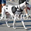 Daily Clarion/Andrea Howe<br /> Hank the Great Dane hoofs it up Main Street in Monday's Labor Day Parade.