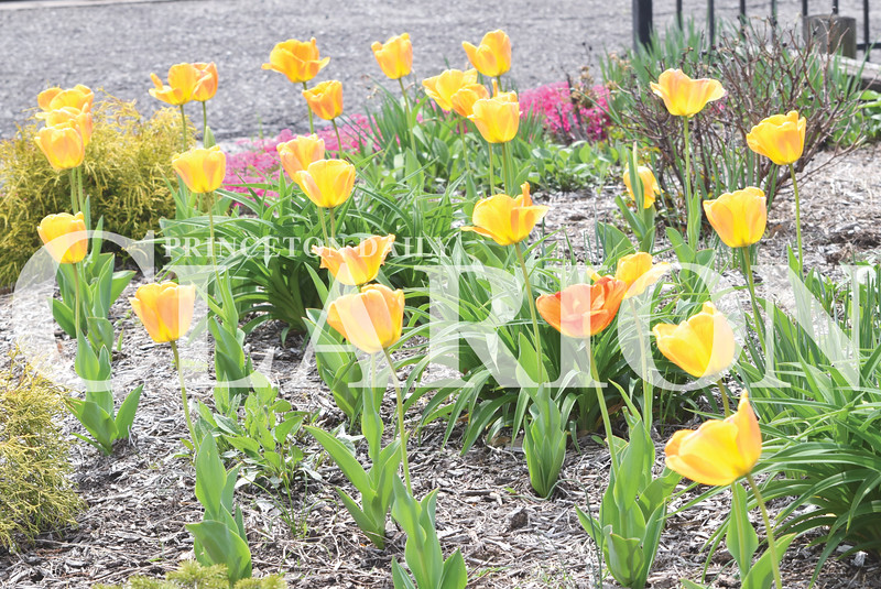 Quiche Matchen/ Daily Clarion <br /> Numerous Tulip Bulbs are displayed in the Gibson County Visitors and Tourism Bureau's flower bed Wednesday afternoon.