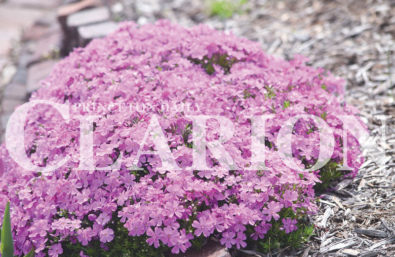 Quiche Matchen/ Daily Clarion <br /> Purple Phlox flowers are displayed in the Gibson County Visitors and Tourism Bureau's flower bed Wednesday afternoon. The flowers are known to bloom in the early spring.