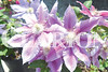 """Clematis """"Dr. Ruppel"""" blow in the wind Tuesday morning at Mayflower Gardens in Fort Branch."""