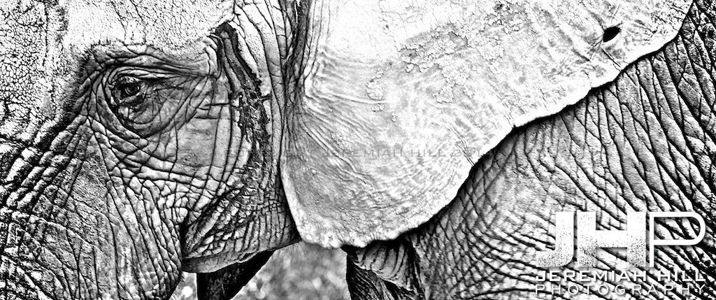 Elephants Of Toronto #12 Print ELT-474V2