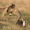 N - Prairie Chicken Jump by Larry Cameron - HM