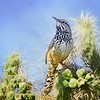 P - Cactus Wren by Nikki McDonald - HM